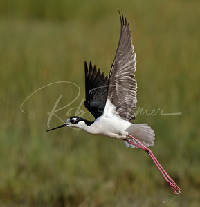 Black Necked Stilt taking off