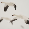 Snow Geese In-Flight In Snow<br /> 0406166