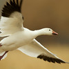 Snow Goose In-Flight<br /> 0222458