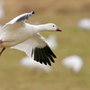 Snow Goose In-Flight #1<br /> 0715380