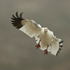 Snow Goose In-Flight<br /> 0222457