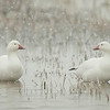 Snow Geese In Snow<br /> 0406125