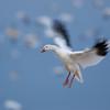 Snow Goose In-Flight #4<br /> 0721058