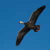 Snow Geese In-Flight<br /> 0831999