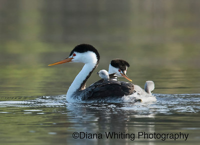 Clark's Grebe Family With Two Chicks on Back
