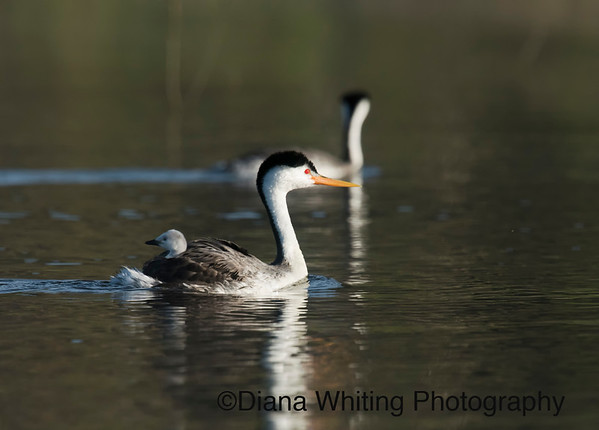 Clark's Grebe With Chick on Back