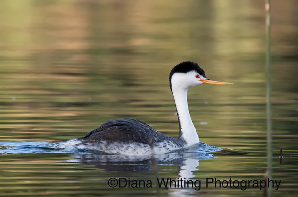 Clark's Grebe With Hidden Chick on Back