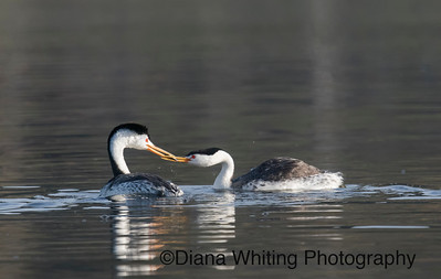 Clark's Grebe Feeding mate While Chick is Hidden on Her Back