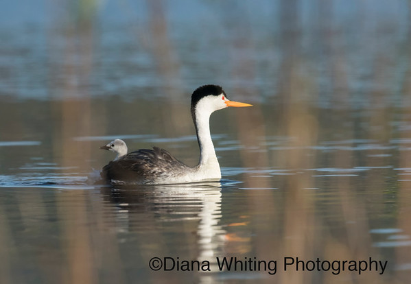 Clark's Grebe With Young Chick on Back