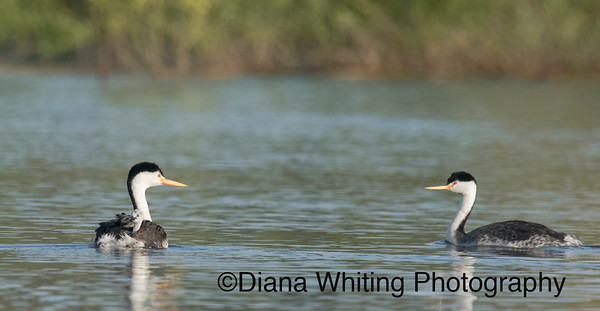 Clark's Grebe Family With Chick On Back