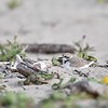 Female Western Snowy Plover on Nest