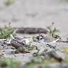Female Western Snowy Plover on Nest