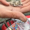 Western Snowy Plover Chick Banding Process