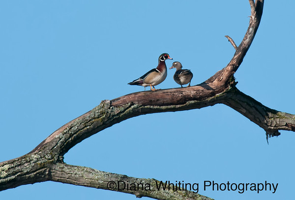 Wood Duck Pair in a Tree