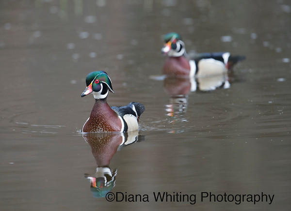 Male Wood Duck Pair Spring