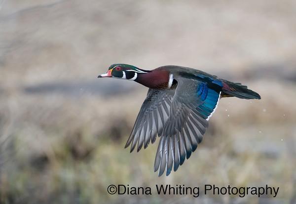 Male Wood Duck in Flight