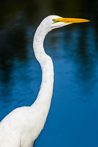 Great Egret Portrait 1