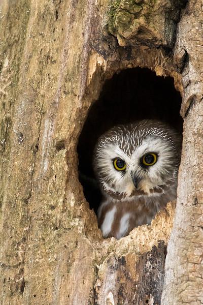 Northern saw-whet owl, Aegolius acadicus, in a tree cavity in Edmonton, Alberta, Canada.