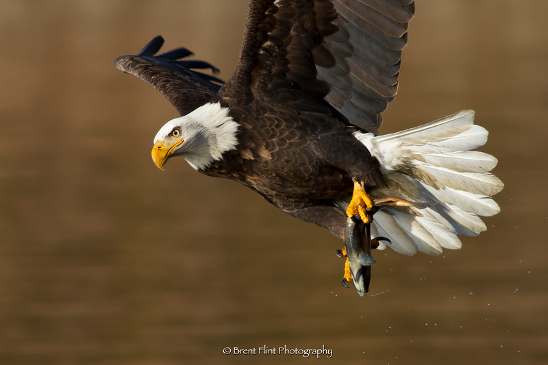 DF.4970 - Bald eagle with kokanee salmon, Lake Coeur d'Alene, ID.