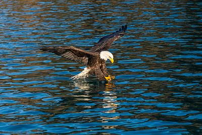 Bald Eagle 1286