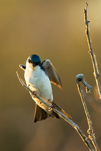 Tree swallow, Tachycineta bicolor, landing near Dawson Creek, British Columbia, Canada.