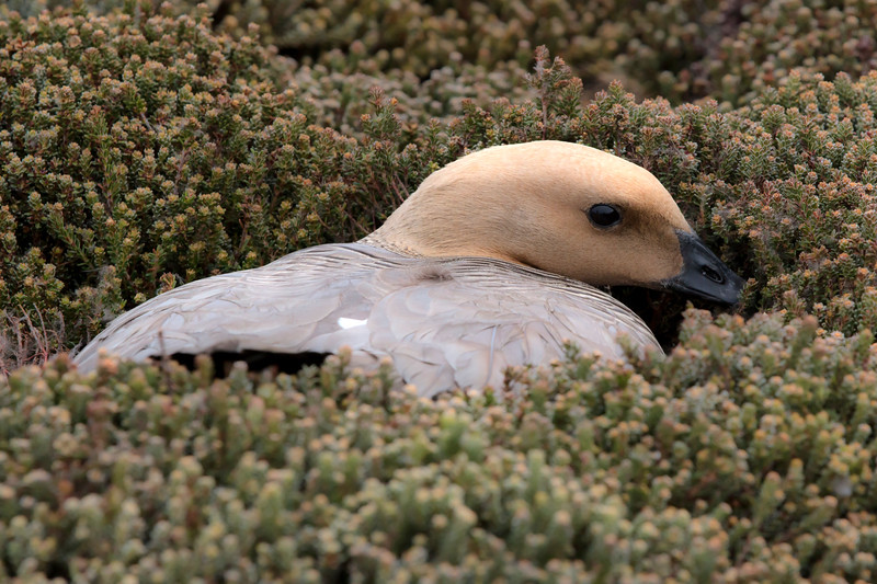 Upland goose on nest in heath, Sea Lion Island