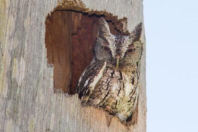 Screech Owl BRD1405-5787