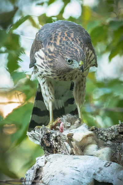 Cooper's hawk, Acipiter cooperi, perched with prey in Edmonton, Alberta, Canada.