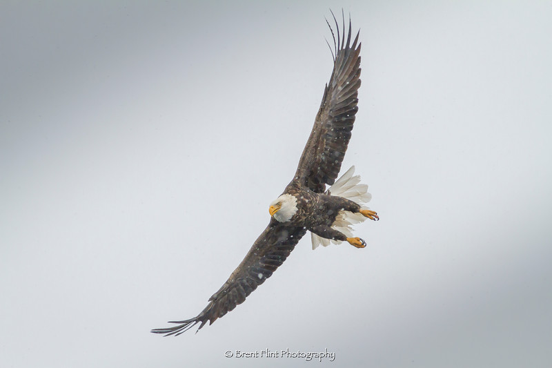 DF.4427 - bald eagle in snowstorm, Kootenai County, ID.