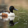 Northern shoveler drake, Anas clypeata, on a pond at Loise Hole Centenial Provincial Park, Alberta, Canada.
