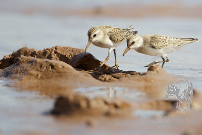 Sandpipers Foraging