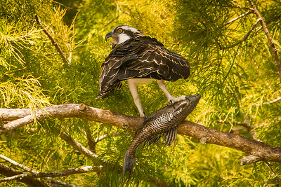 Osprey With a fish-7428