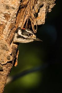 Hairy woodpecker, Picoides villosus, at a nest in Beauvais Lake Provincial Park, Alberta, Canada.