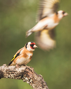 Pair of Carduelis carduelis