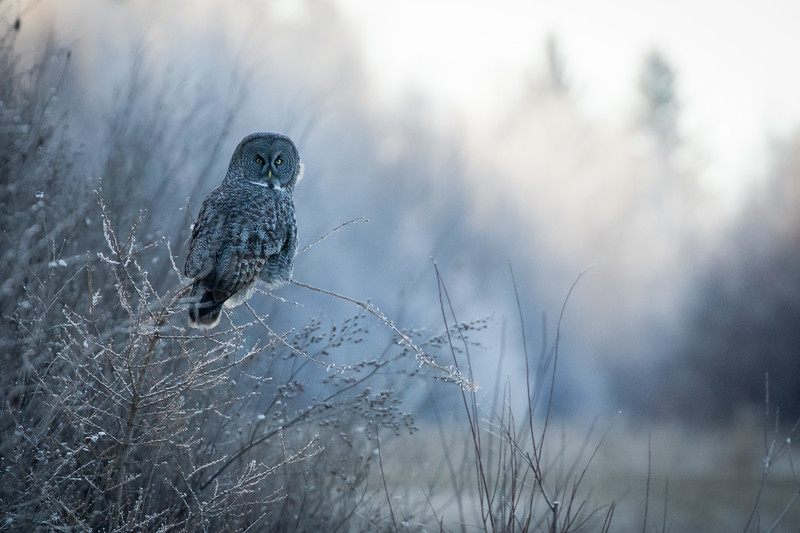 Great grey owl, Strix nebulosa, near Westlock, Alberta, Canada.