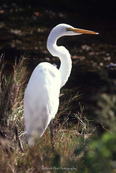 "S.2754 - great egret, J.N. ""Ding"" Darling National Wildlife Refuge, FL."