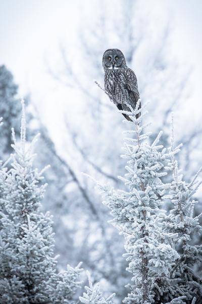 Great grey owl, Strix nebulosa, near Drayton Valley, Alberta, Canada.