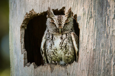 Screech Owl BRD1405-5855