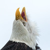 Bald eagle, Haliaeetus leucocephalus, watching a conspecific fly overhead in Boundary Bay, British Columbia, Canada.