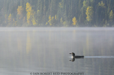 Bowron Lakes Loon