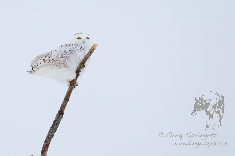 Snowy Owl watching the bi-ped