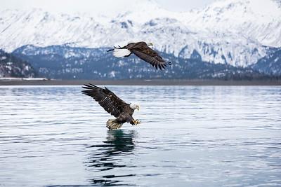 Bald Eagle 0023