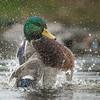 Mallard drake, Anas platyrhynchos, bathing in Delta, British Columbia, Canada.
