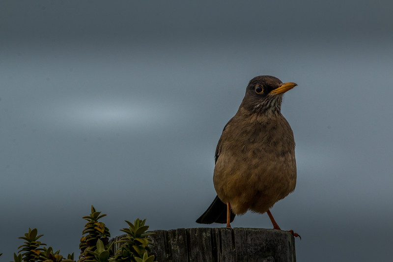 Falkland thrush, Sea Lion Island, Falklands