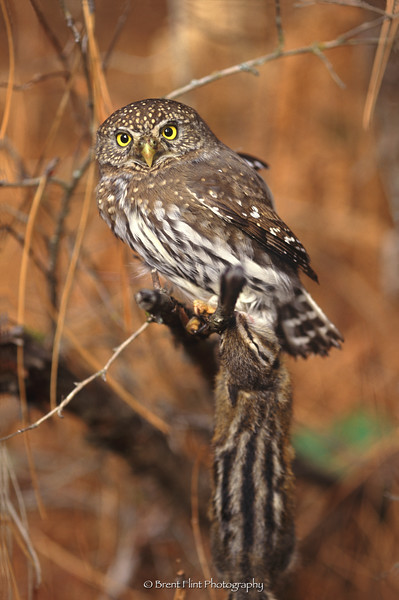 S.4698 - northern pygmy owl with chipmunk, Liberty Lake County Park, WA.