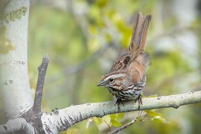 Song sparrow, Melospiza melodia, at Lee Lake, Alberta, Canada.