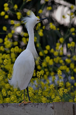 egret-on-fence-0123