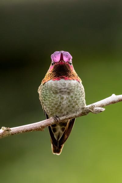 Anna's hummingbird, Calypte anna, on a perch in Delta, British Columbia, Canada.