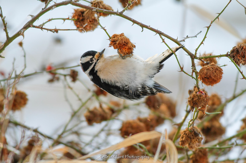 DF.3463 - downy woodpecker probing rose hip gall for insect larvae,  Liberty Lake County Park, WA.
