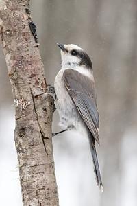 Canada jay, Perisoreus canadensis, near Westlock, Alberta, Canada.